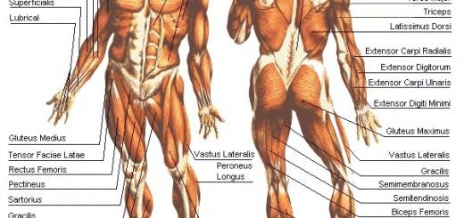 anatomy anterior posterior