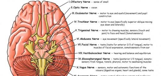 cranial_nerves_info72