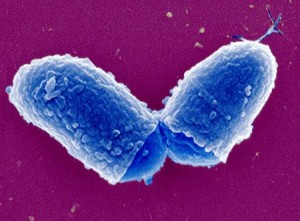 Corynebacterium microbiology study