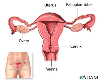 adam female reproductive system