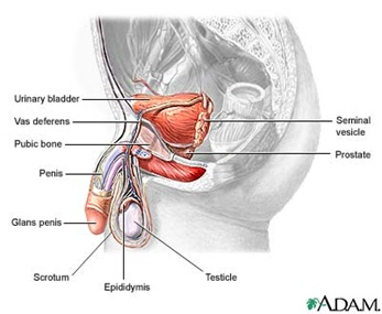 adam male reproductive system thumb Functions of the Male Reproductive Organs
