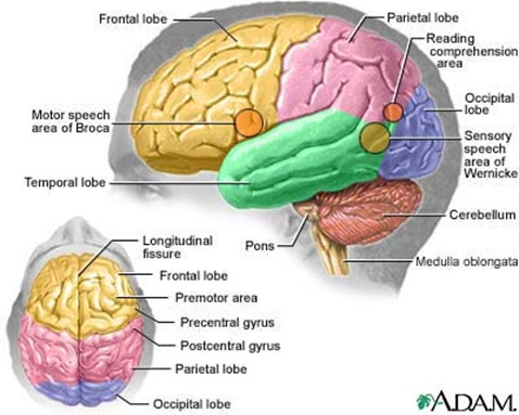 anatomy brain thumb Schizophrenia Case Study