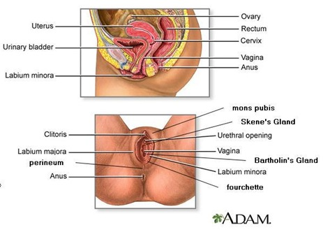 anatomy of female reproductive system1