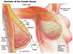 anatomybreast 300x224 Anatomy and Physiology of Mammary Glands (Breast)