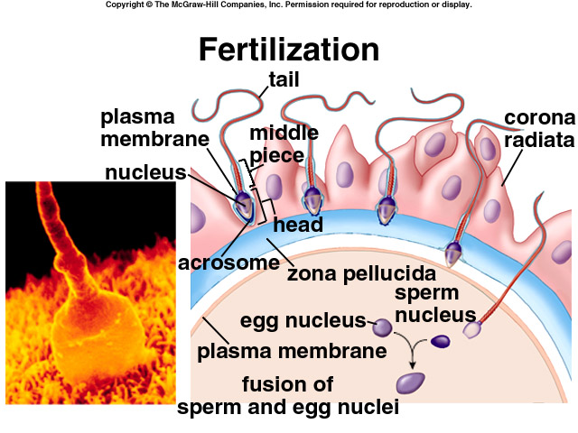 Related Keywords & Suggestions for human fertilization