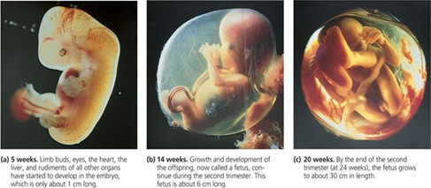 fetal development thumb Stages of Fetal Development
