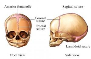 fetal skull2 300x195 The Fetal Skull