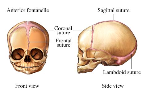 Fetal Skull Quiz The Fetal Skull