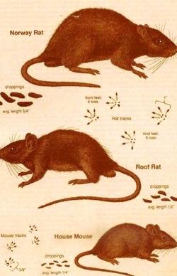 ratpag5 Leptospirosis