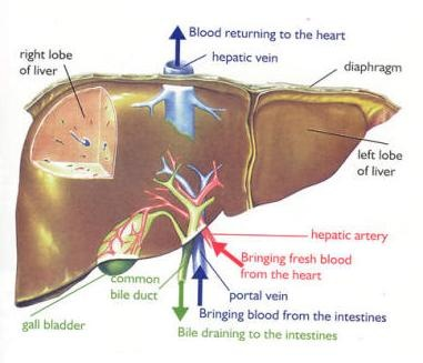 liver-cirrhosis.jpg