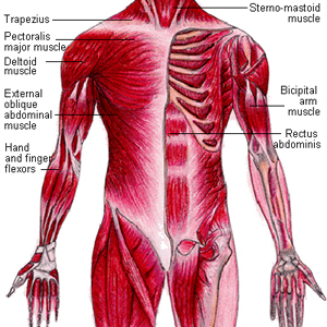anatomy and physiology: muscular system - nursing crib, Muscles