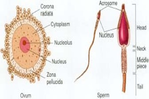 ovum sperm thumb1 Stages of Fetal Development