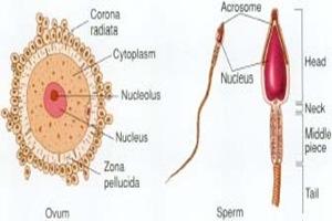 ovum sperm