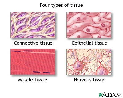 Chapter 5: Tissue - EHS Anatomy & Physiology (A)